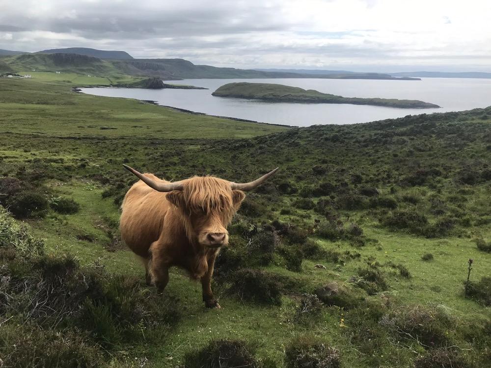 Skye Trail - Highland Cows